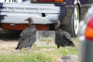 vultures IMG_8516