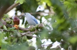 Blue Bird Eating Plum
