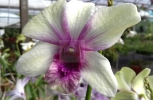 White Orchid saying good morning