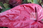 Red Anthurium Flower
