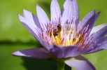 Bee resting in Water Lilly
