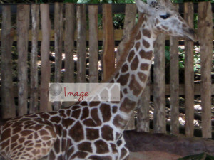 GOOD giraffes sitting close up logo IMG_8042