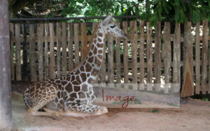Good giraffes sitting with logo IMG_8041