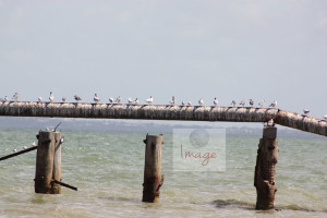 birds on a pipe lineIMG_8333