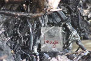 oil on roots MG_8309